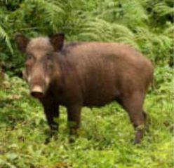 شکارچی گراز در سیاهکل شناسایی شد